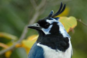 Black-Throated Magpie Jay by mentaldragon
