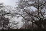 Gloomy Cherry Trees by Muse-4-Life