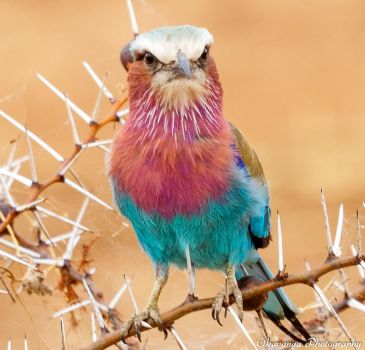 Lilac-Breasted Roller 4 by Okavanga