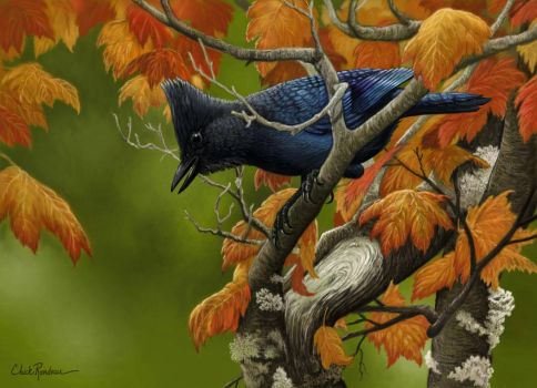 The Scolding- Steller's Jay by ChuckRondeau