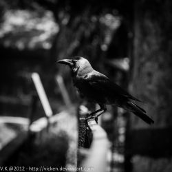 Crow I by vicken