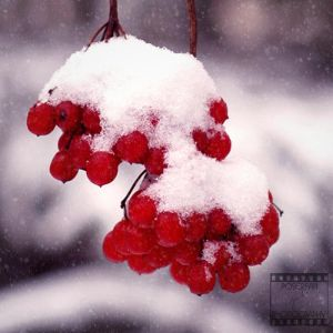 Day 34: Red Berries by poserfan-pholio