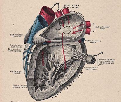 Vintage Heart Diagram by HauntingVisionsStock