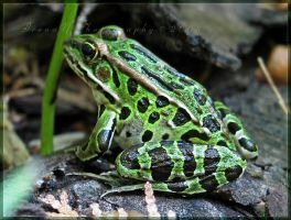 'Froggie' by Irena-N-Photography