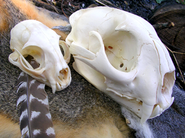 Cougar And Bobcat Skulls by FossilFeather