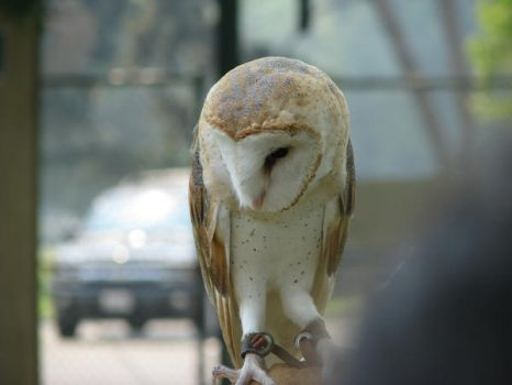Barn owl 3 by CRStock