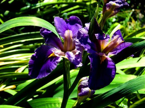 Iris Purple Majesty by Synaptica