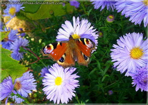 Peacock Butterfly on Asters by Sapphiresenthiss