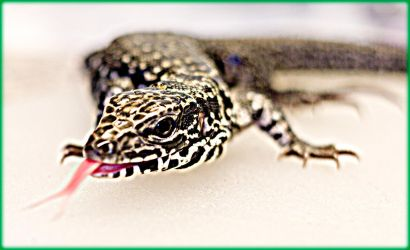 Arty Columbian Tegu 15-filter by ByLagarto