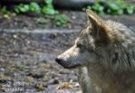 Mexican Gray Wolf - profile by EricKemphfer