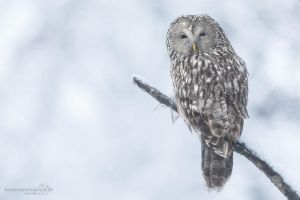 Ural owl by chriskaula