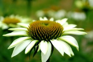 Echinacea by Tricia-Danby