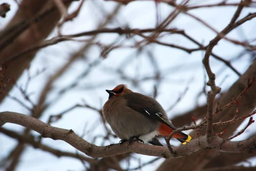 bohemian waxwing by alkaholly