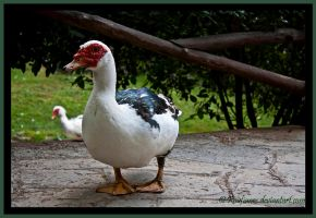 Portrait of a Duck by Roufianos