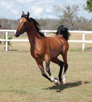 GE Arab bay canter all legs off ground front view by Chunga-Stock