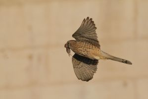 Falcon from our city : 4 by phalalcrocorax