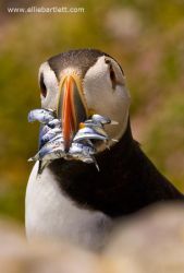 Puffin II by ERB20