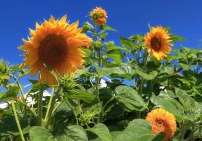 Sunflowers - HDR by yoctox
