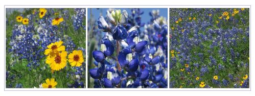 Summer's Bluebonnets by Picatso