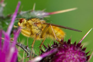 ThistleFly by WestLothian
