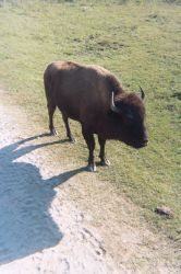 Young Bison - Everglades by Riastrad729