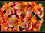 Different Kind Of Frangipani by Firey-Sunset