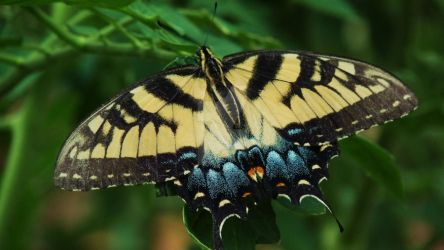 Tiger Swallowtail by quothetheraven