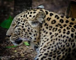 Jaguar III by AstarothSquirrel