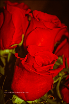 :Roses: by Avalon-Photography