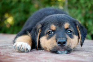 Rottweiler Puppy 3 by CanuckZD