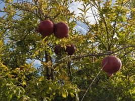 pomegranate2 by voider00