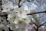 Cherry Blossoms 2 by zaphotonista