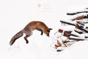 Red Fox Jumping - Feature at Discovery Channel! by thrumyeye