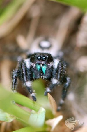 Jumping Spider by TaksArtPhotos