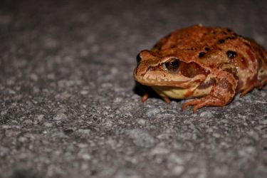 Toad on the Road by Kaera-Neko