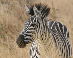 the zebra by MAGIAINCANTO