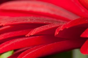 Red petals IV by Bozack