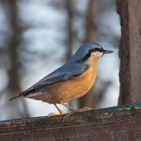 Nuthatch V by starykocur