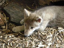 wolf pup by LindseyTaylor
