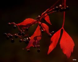 Virginia Creeper by Lionpelt-66