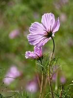 Cosmos Alight by Mogrianne