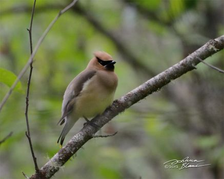 Bohemian Waxwing 1 by themanitou