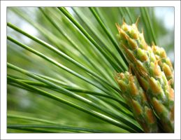 Pine Tree 3 by MichelleMarie