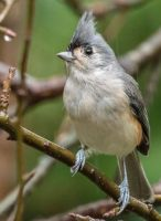 Tufted Titmouse 001 by Elluka-brendmer