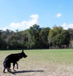 Black Shepherd Turn Pose by CompassLogicStock
