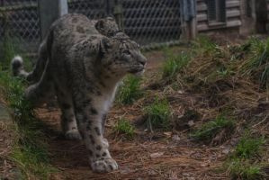 Snow Leopard 58 by CastleGraphics
