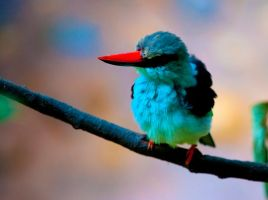 Blue-Breasted Kingfisher by deseonocturno
