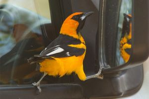 Who's a pretty boy then -  Spot breasted Oriole by Jamie-MacArthur