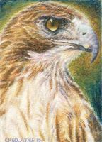 Red-Tailed Hawk -ACEO by Carol-Moore