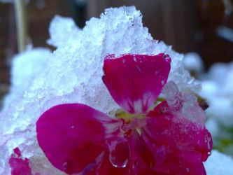 Snow covered flower by chloexlolx